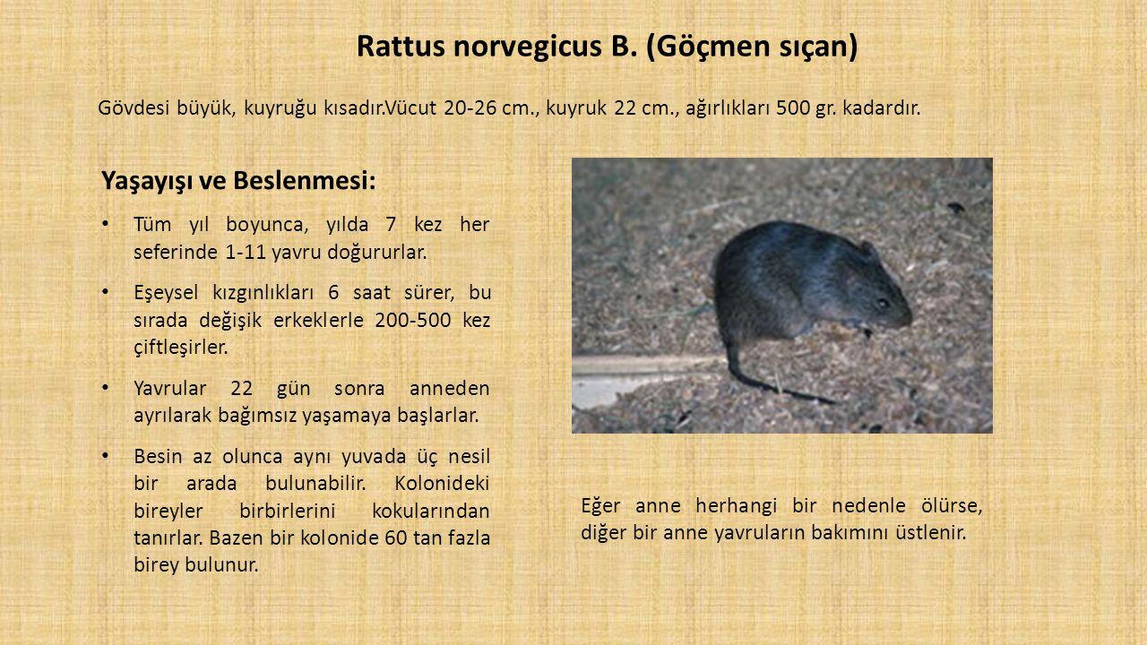 Rattus norvegicus B. (Göçmen sıçan) Gövdesi büyük, kuyruğu kısadır.Vücut 20-26 cm., kuyruk 22 cm., ağırlıkları 500 gr. kadardır. Yaşayışı ve Beslenmes