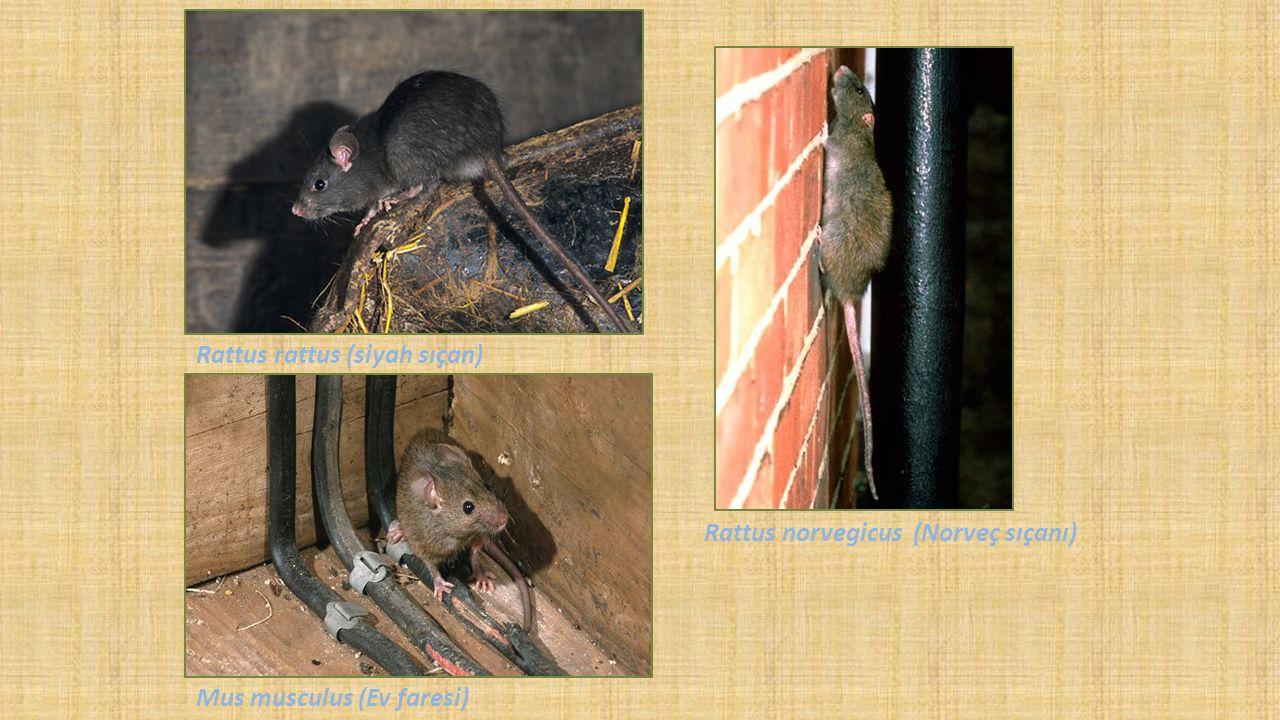 Rattus norvegicus (Norveç sıçanı) Mus musculus (Ev faresi) Rattus rattus (siyah sıçan)