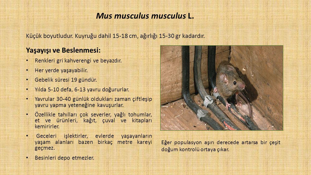 Mus musculus musculus L. Küçük boyutludur. Kuyruğu dahil 15-18 cm, ağırlığı 15-30 gr kadardır. Yaşayışı ve Beslenmesi: Renkleri gri kahverengi ve beya