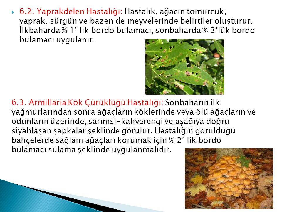 6.2. Yaprakdelen Hastalığı: Hastalık, ağacın tomurcuk, yaprak, sürgün ve bazen de meyvelerinde belirtiler oluşturur. İlkbaharda % 1' lik bordo bulam