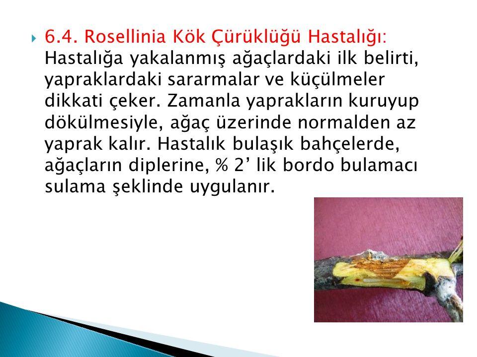  6.4. Rosellinia Kök Çürüklüğü Hastalığı: Hastalığa yakalanmış ağaçlardaki ilk belirti, yapraklardaki sararmalar ve küçülmeler dikkati çeker. Zamanla