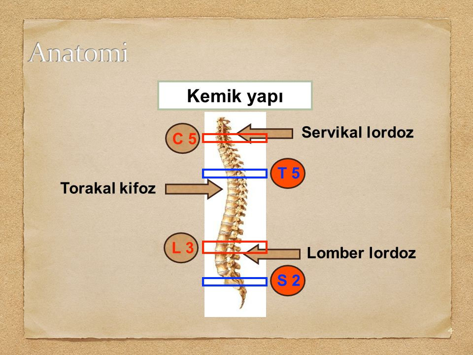 4 Kemik yapı Torakal kifoz Servikal lordoz Lomber lordoz L 3 C 5 S 2 T 5