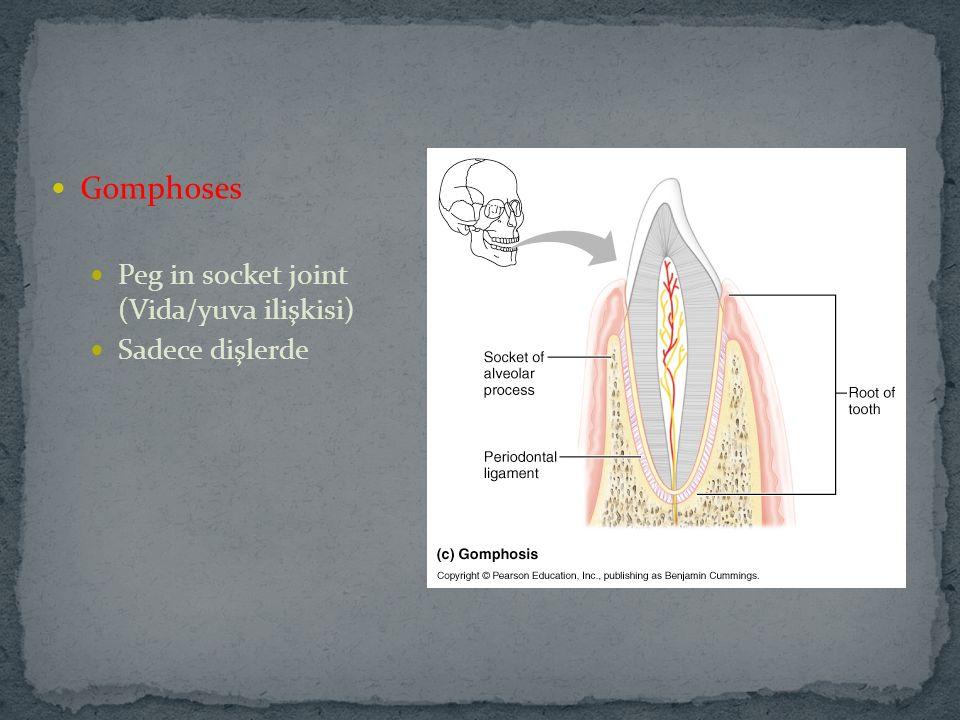 Gomphoses Peg in socket joint (Vida/yuva ilişkisi) Sadece dişlerde