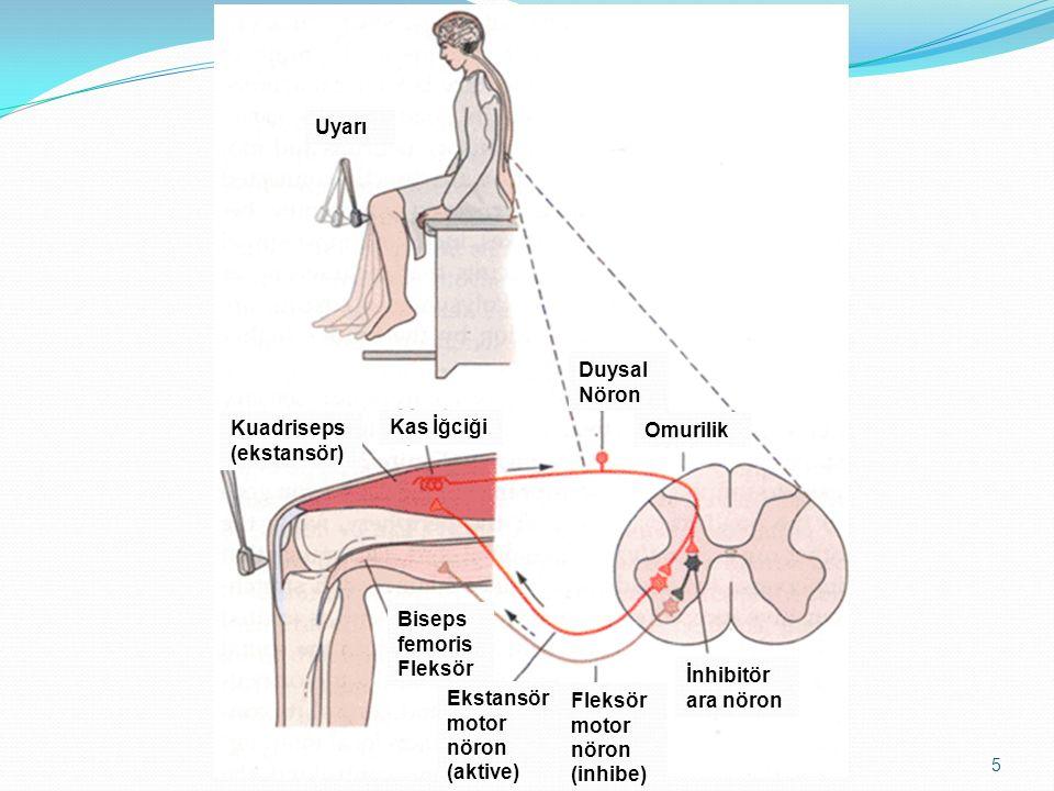 5 Uyarı Kuadriseps (ekstansör) Kas İğciği Duysal Nöron Omurilik Biseps femoris Fleksör Ekstansör motor nöron (aktive) Fleksör motor nöron (inhibe) İnh