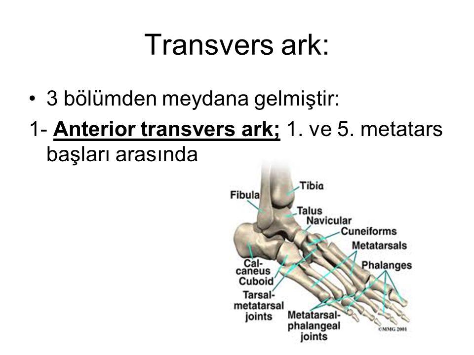 Transvers ark: 3 bölümden meydana gelmiştir: 1- Anterior transvers ark; 1. ve 5. metatars başları arasında