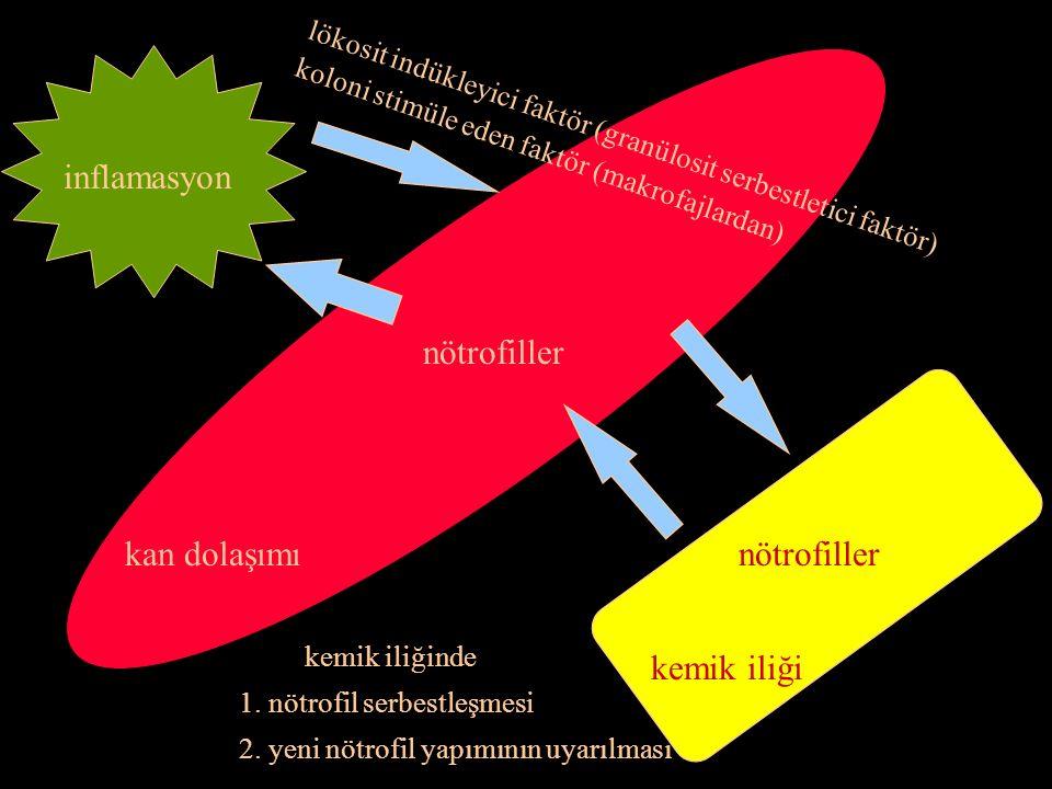 inflamasyon lökosit indükleyici faktör (granülosit serbestletici faktör) koloni stimüle eden faktör (makrofajlardan) kemik iliği nötrofillerkan dolaşımı nötrofiller kemik iliğinde 1.
