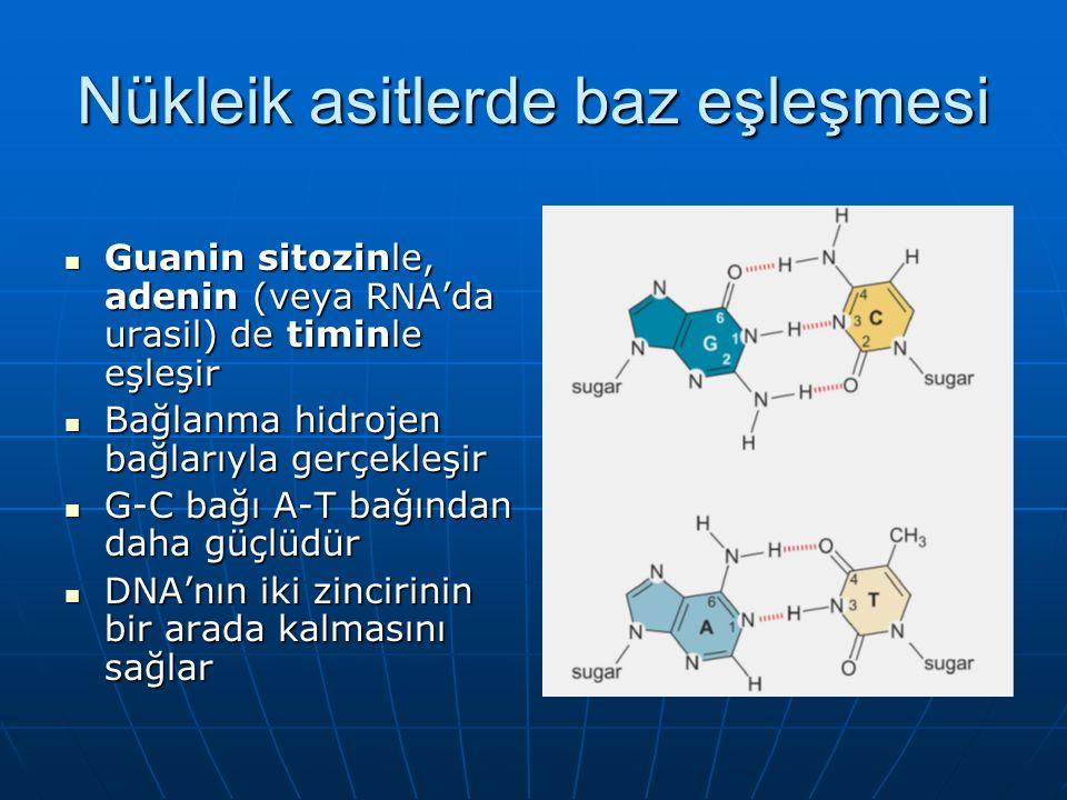 Nükleik asitlerde baz eşleşmesi Guanin sitozinle, adenin (veya RNA'da urasil) de timinle eşleşir Guanin sitozinle, adenin (veya RNA'da urasil) de timinle eşleşir Bağlanma hidrojen bağlarıyla gerçekleşir Bağlanma hidrojen bağlarıyla gerçekleşir G-C bağı A-T bağından daha güçlüdür G-C bağı A-T bağından daha güçlüdür DNA'nın iki zincirinin bir arada kalmasını sağlar DNA'nın iki zincirinin bir arada kalmasını sağlar
