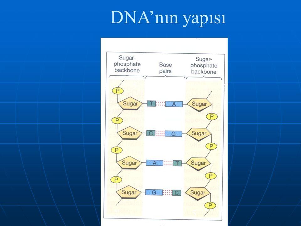 DNA'nın yapısı 5 5 3 3 5 5 3 3