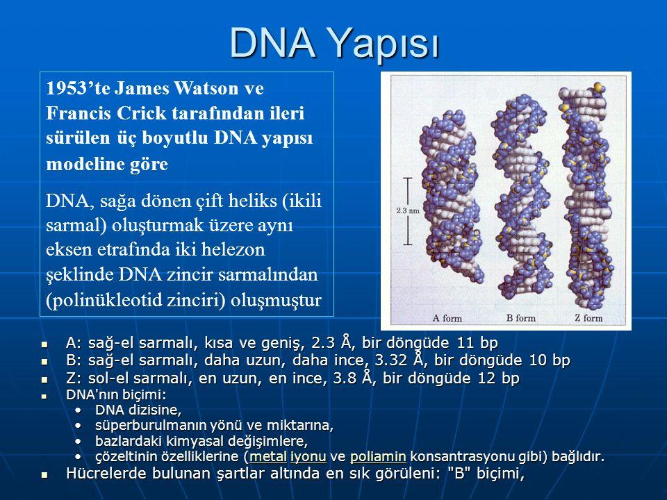 1953'te James Watson ve Francis Crick tarafından ileri sürülen üç boyutlu DNA yapısı modeline göre DNA, sağa dönen çift heliks (ikili sarmal) oluşturmak üzere aynı eksen etrafında iki helezon şeklinde DNA zincir sarmalından (polinükleotid zinciri) oluşmuştur DNA Yapısı A: sağ-el sarmalı, kısa ve geniş, 2.3 Å, bir döngüde 11 bp A: sağ-el sarmalı, kısa ve geniş, 2.3 Å, bir döngüde 11 bp B: sağ-el sarmalı, daha uzun, daha ince, 3.32 Å, bir döngüde 10 bp B: sağ-el sarmalı, daha uzun, daha ince, 3.32 Å, bir döngüde 10 bp Z: sol-el sarmalı, en uzun, en ince, 3.8 Å, bir döngüde 12 bp Z: sol-el sarmalı, en uzun, en ince, 3.8 Å, bir döngüde 12 bp DNA nın biçimi: DNA nın biçimi: DNA dizisine,DNA dizisine, süperburulmanın yönü ve miktarına,süperburulmanın yönü ve miktarına, bazlardaki kimyasal değişimlere,bazlardaki kimyasal değişimlere, çözeltinin özelliklerine (metal iyonu ve poliamin konsantrasyonu gibi) bağlıdır.çözeltinin özelliklerine (metal iyonu ve poliamin konsantrasyonu gibi) bağlıdır.metaliyonupoliaminmetaliyonupoliamin Hücrelerde bulunan şartlar altında en sık görüleni: B biçimi, Hücrelerde bulunan şartlar altında en sık görüleni: B biçimi,
