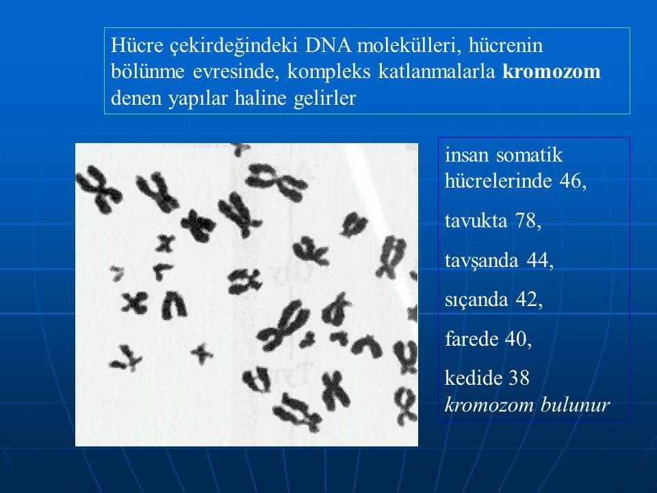 Hücre çekirdeğindeki DNA molekülleri, hücrenin bölünme evresinde, kompleks katlanmalarla kromozom denen yapılar haline gelirler insan somatik hücrelerinde 46, tavukta 78, tavşanda 44, sıçanda 42, farede 40, kedide 38 kromozom bulunur