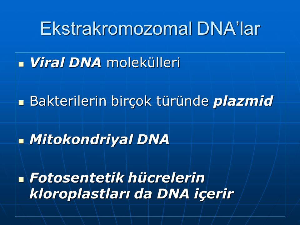 Ekstrakromozomal DNA'lar Viral DNA molekülleri Viral DNA molekülleri Bakterilerin birçok türünde plazmid Bakterilerin birçok türünde plazmid Mitokondriyal DNA Mitokondriyal DNA Fotosentetik hücrelerin kloroplastları da DNA içerir Fotosentetik hücrelerin kloroplastları da DNA içerir