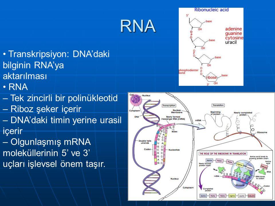 Transkripsiyon: DNA'daki bilginin RNA'ya aktarılması RNA – Tek zincirli bir polinükleotid – Riboz şeker içerir – DNA'daki timin yerine urasil içerir – Olgunlaşmış mRNA moleküllerinin 5' ve 3' uçları işlevsel önem taşır.