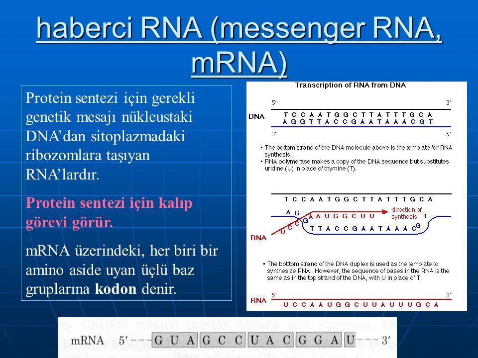 haberci RNA (messenger RNA, mRNA) Protein sentezi için gerekli genetik mesajı nükleustaki DNA'dan sitoplazmadaki ribozomlara taşıyan RNA'lardır.