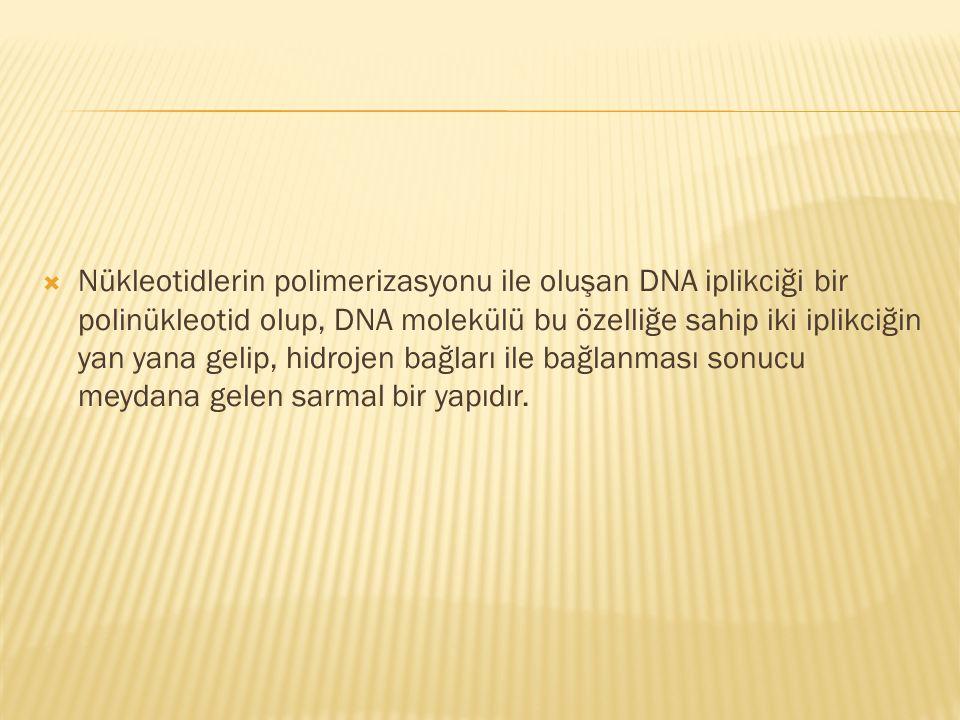  Nükleotidlerin polimerizasyonu ile oluşan DNA iplikciği bir polinükleotid olup, DNA molekülü bu özelliğe sahip iki iplikciğin yan yana gelip, hidroj