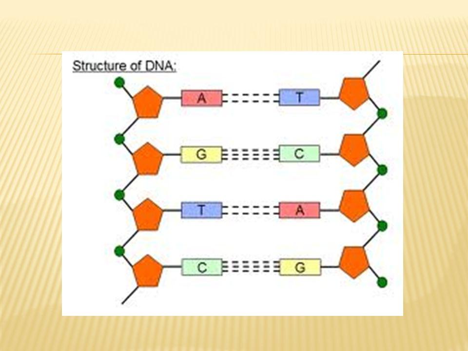 Deoksiribonükleik Asid (DNA) DNA molekülleri, nükleotid adı verilen yapıtaşlarından meydana gelen iki polinükleotid iplikçiğinin, sarmal biçimde birbirine bağlanması ile oluşan oldukça büyük moleküllerdir.