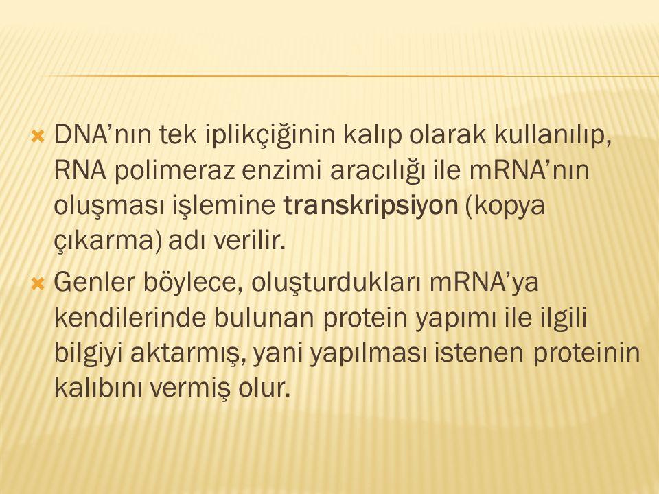  DNA'nın tek iplikçiğinin kalıp olarak kullanılıp, RNA polimeraz enzimi aracılığı ile mRNA'nın oluşması işlemine transkripsiyon (kopya çıkarma) adı v