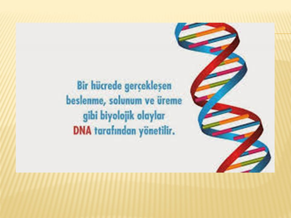  Bir DNA molekülündeki pürin ve pirimidin bazlarının (A, T, C, G)sayısı ve diziliş biçimi, her canlı varlık için değişmeyen ve özgüllük gösteren bir genetik yapı özelliğidir.