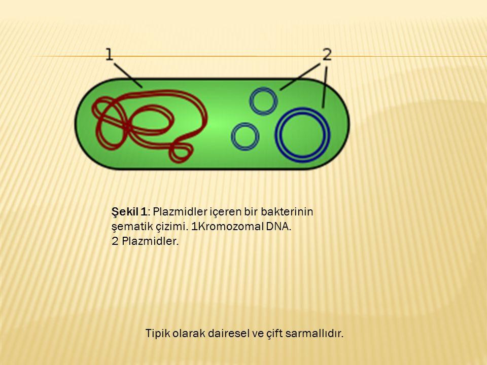 Şekil 1: Plazmidler içeren bir bakterinin şematik çizimi. 1Kromozomal DNA. 2 Plazmidler. Tipik olarak dairesel ve çift sarmallıdır.