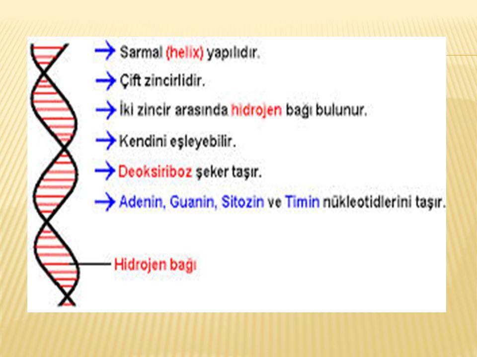  Yani her bir biyolojik özellik ve fonksiyondan gen adı verilen genetik birimler sorumludur.