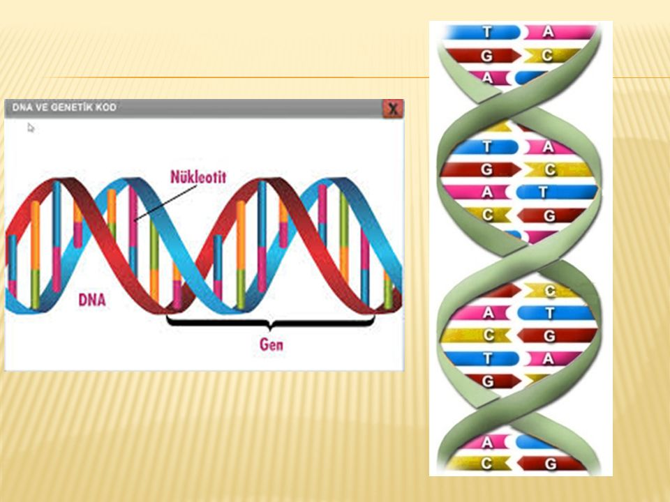 Başka hiçbir molekülde bulunmayan bu özellik sayesinde, üreme sırasında birbirinden ayrılan iki polinükleotid zinciri (iplikçik), karşıtı olan diğer zinciri sentezleyerek aynı yapı ve özellikte iki DNA molekülü meydana getirebilmektedir.