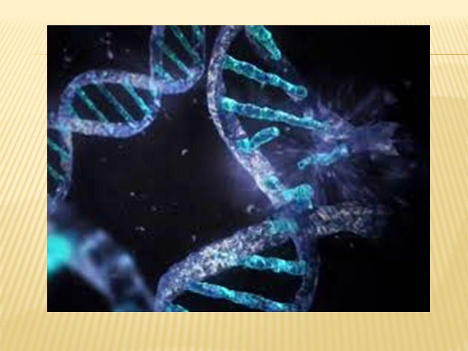  DNA'nın tek iplikçiğinin kalıp olarak kullanılıp, RNA polimeraz enzimi aracılığı ile mRNA'nın oluşması işlemine transkripsiyon (kopya çıkarma) adı verilir.