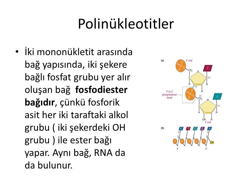 Polinükleotitler İki mononükletit arasında bağ yapısında, iki şekere bağlı fosfat grubu yer alır oluşan bağ fosfodiester bağıdır, çünkü fosforik asit