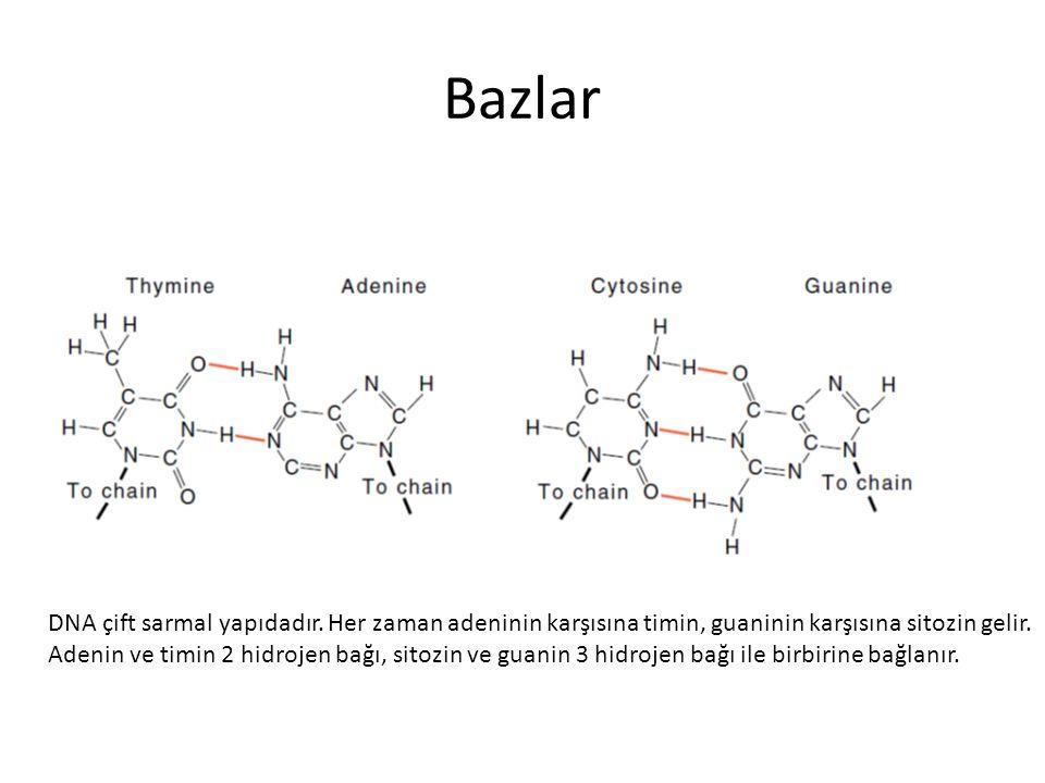 Bazlar DNA çift sarmal yapıdadır. Her zaman adeninin karşısına timin, guaninin karşısına sitozin gelir. Adenin ve timin 2 hidrojen bağı, sitozin ve gu