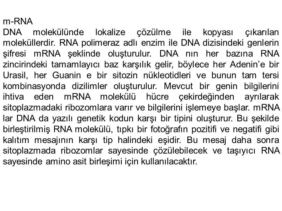 m-RNA DNA molekülünde lokalize çözülme ile kopyası çıkarılan moleküllerdir. RNA polimeraz adlı enzim ile DNA dizisindeki genlerin şifresi mRNA şeklind