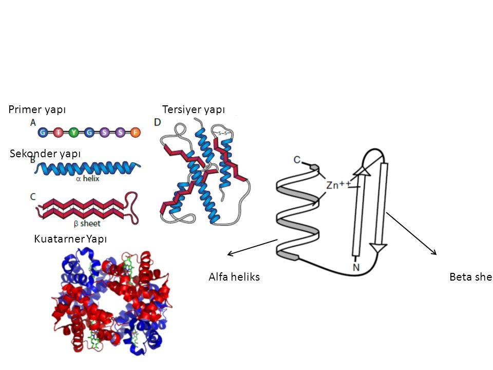 Alfa heliksBeta sheet(tabaka) Primer yapı Sekonder yapı Tersiyer yapı Kuatarner Yapı
