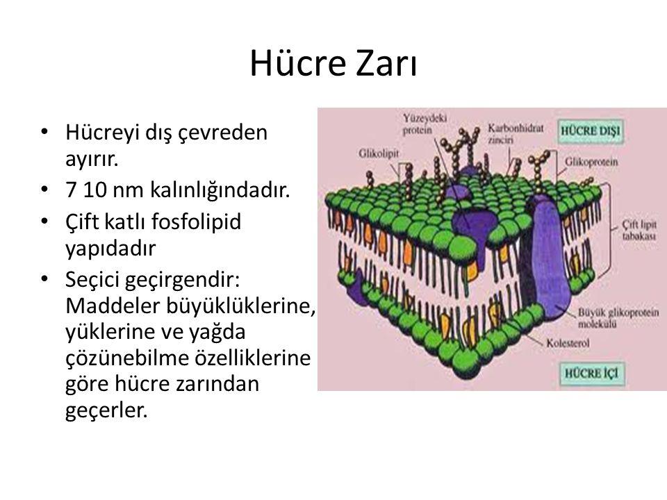 Hücre Zarı Hücreyi dış çevreden ayırır. 7 10 nm kalınlığındadır. Çift katlı fosfolipid yapıdadır Seçici geçirgendir: Maddeler büyüklüklerine, yüklerin