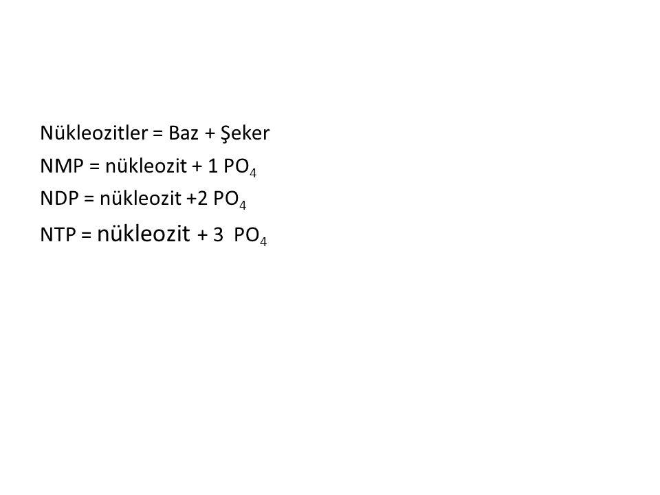 Nükleozitler = Baz + Şeker NMP = nükleozit + 1 PO 4 NDP = nükleozit +2 PO 4 NTP = nükleozit + 3 PO 4
