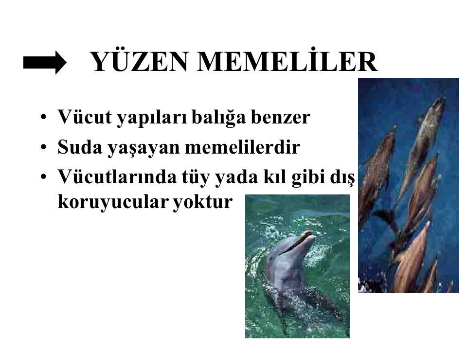 YÜZEN MEMELİLER Vücut yapıları balığa benzer Suda yaşayan memelilerdir Vücutlarında tüy yada kıl gibi dış koruyucular yoktur