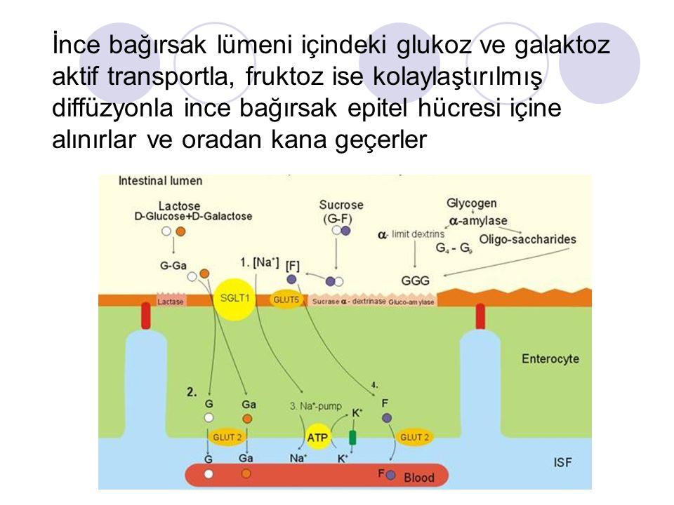 İnce bağırsak lümeni içindeki glukoz ve galaktoz aktif transportla, fruktoz ise kolaylaştırılmış diffüzyonla ince bağırsak epitel hücresi içine alınır