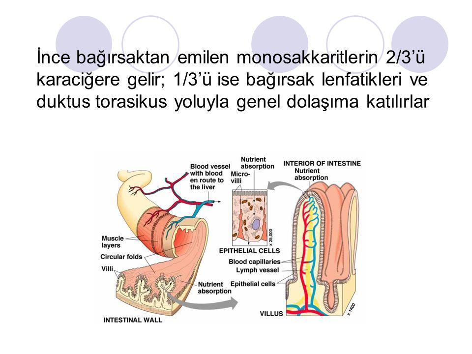 İnce bağırsaktan emilen monosakkaritlerin 2/3'ü karaciğere gelir; 1/3'ü ise bağırsak lenfatikleri ve duktus torasikus yoluyla genel dolaşıma katılırla
