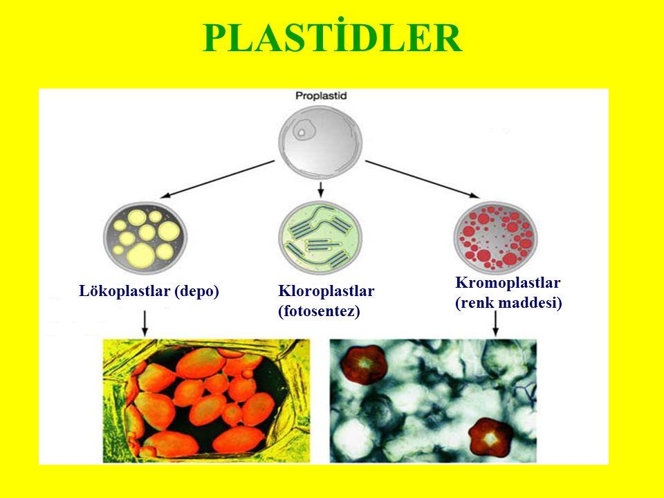 PLASTİDLER Lökoplastlar (depo)Kloroplastlar (fotosentez) Kromoplastlar (renk maddesi)