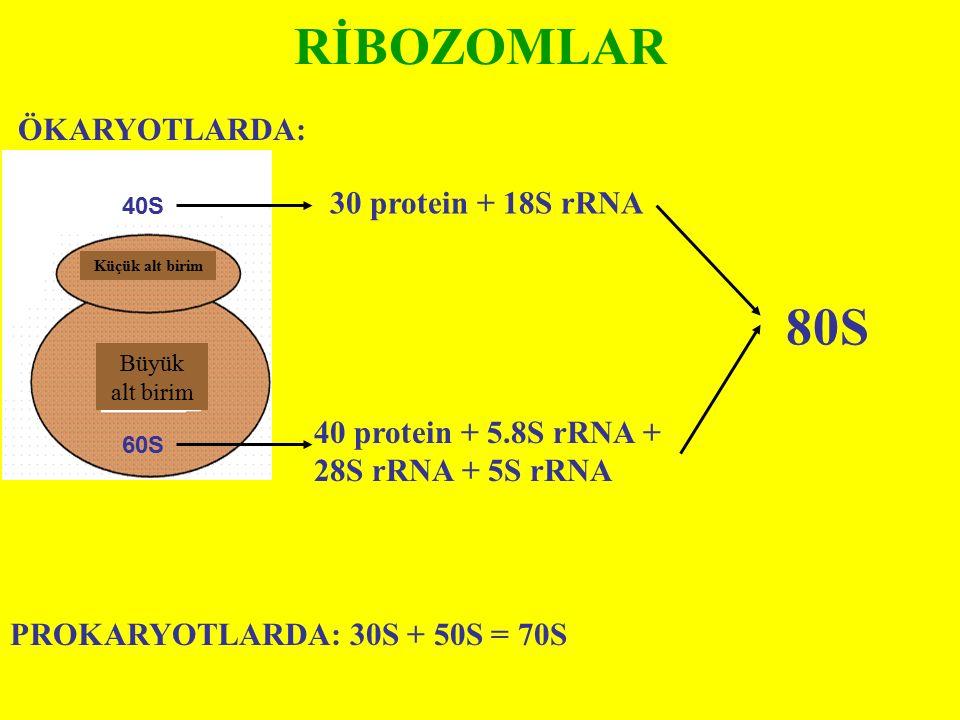 Küçük alt birim Büyük alt birim 60S 40S 30 protein + 18S rRNA 40 protein + 5.8S rRNA + 28S rRNA + 5S rRNA 80S ÖKARYOTLARDA: PROKARYOTLARDA: 30S + 50S