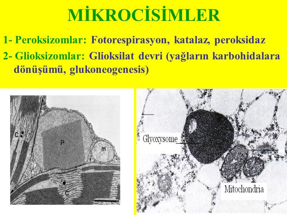 MİKROCİSİMLER 1- Peroksizomlar: Fotorespirasyon, katalaz, peroksidaz 2- Glioksizomlar: Glioksilat devri (yağların karbohidalara dönüşümü, glukoneogene