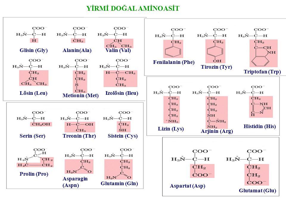 YİRMİ DOĞAL AMİNOASİT Glisin (Gly)Alanin(Ala)Valin (Val) Lösin (Leu) Metionin (Met) Izolösin (Ileu) Serin (Ser)Treonin (Thr)Sistein (Cys) Prolin (Pro)