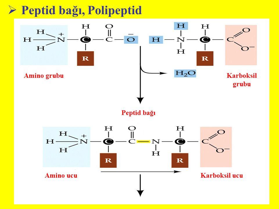  Peptid bağı, Polipeptid Amino grubuKarboksil grubu Peptid bağı Amino ucuKarboksil ucu