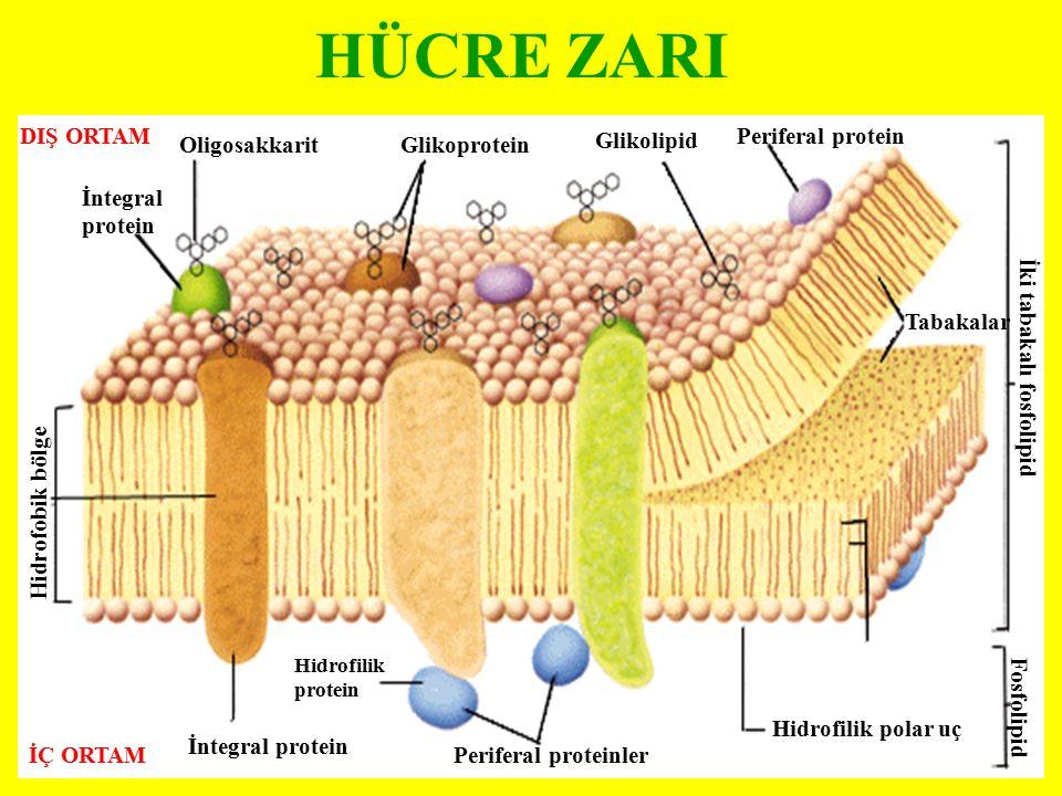 DIŞ ORTAM İÇ ORTAM İntegral protein OligosakkaritGlikoprotein Glikolipid Periferal protein Tabakalar İki tabakalı fosfolipid Fosfolipid Hidrofilik pol