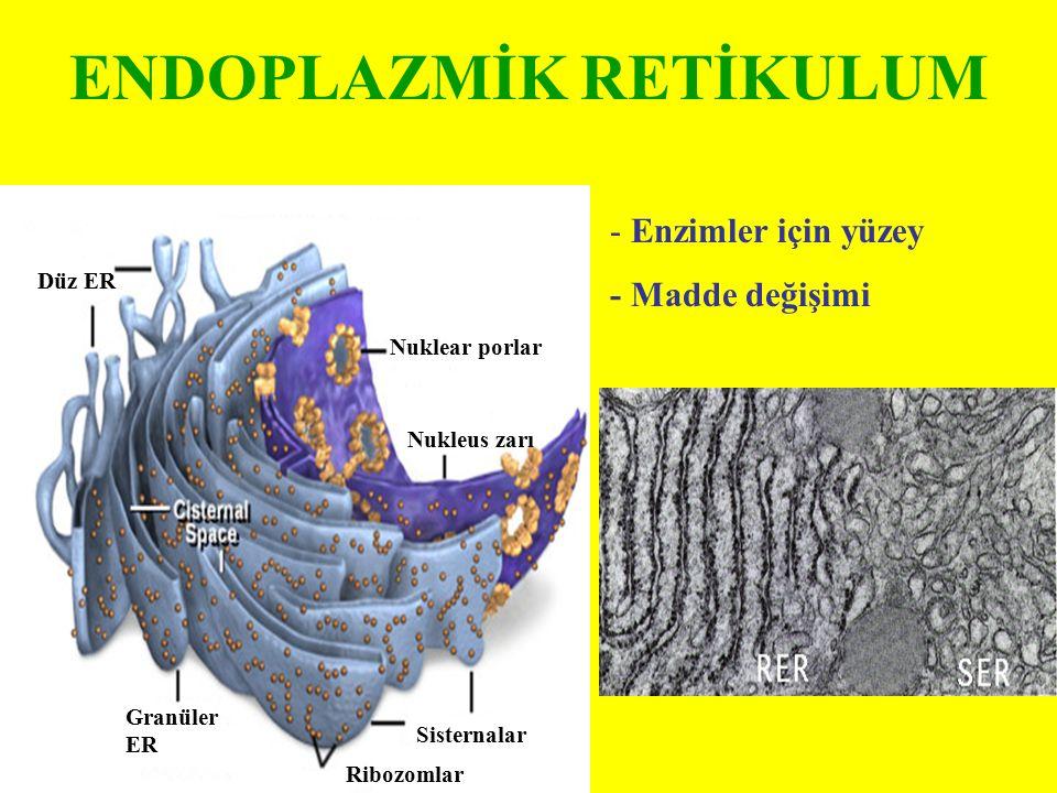 Düz ER Granüler ER Ribozomlar Sisternalar Nukleus zarı Nuklear porlar ENDOPLAZMİK RETİKULUM - Enzimler için yüzey - Madde değişimi