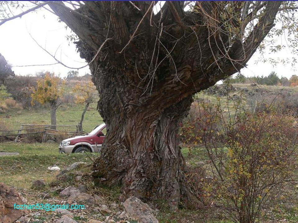 Muhteşem bir FINDIK, 558 yaşında...Bilirsiniz, normal olarak Fındık bodur bir ağaçtır.