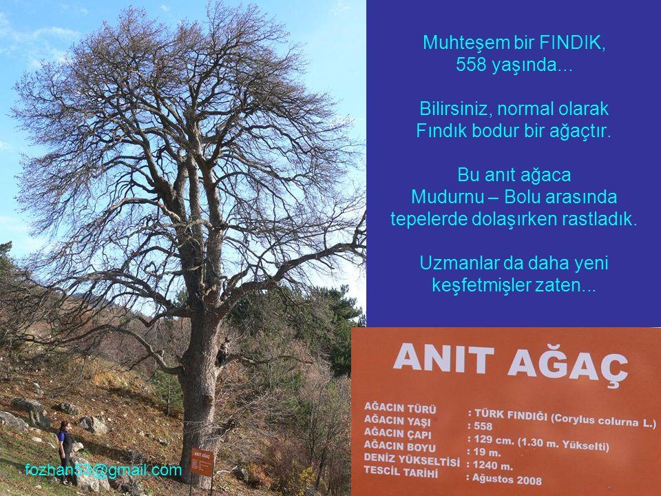 Muhteşem bir FINDIK, 558 yaşında... Bilirsiniz, normal olarak Fındık bodur bir ağaçtır. Bu anıt ağaca Mudurnu – Bolu arasında tepelerde dolaşırken ras