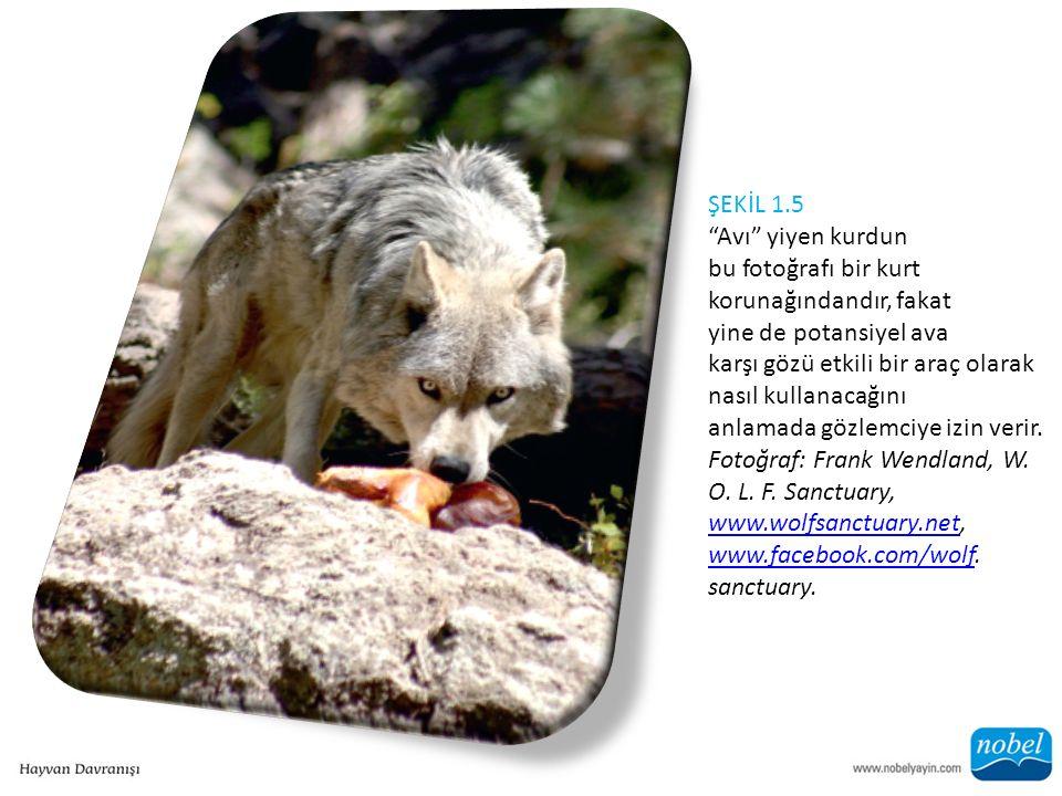 ŞEKİL 1.5 Avı yiyen kurdun bu fotoğrafı bir kurt korunağındandır, fakat yine de potansiyel ava karşı gözü etkili bir araç olarak nasıl kullanacağını anlamada gözlemciye izin verir.