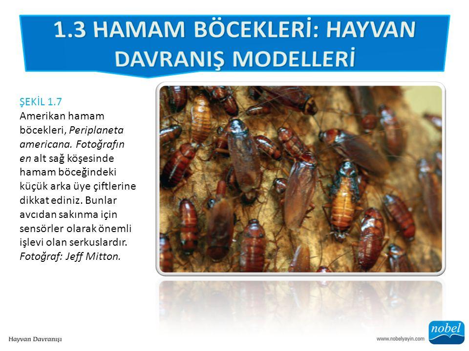 ŞEKİL 1.7 Amerikan hamam böcekleri, Periplaneta americana.