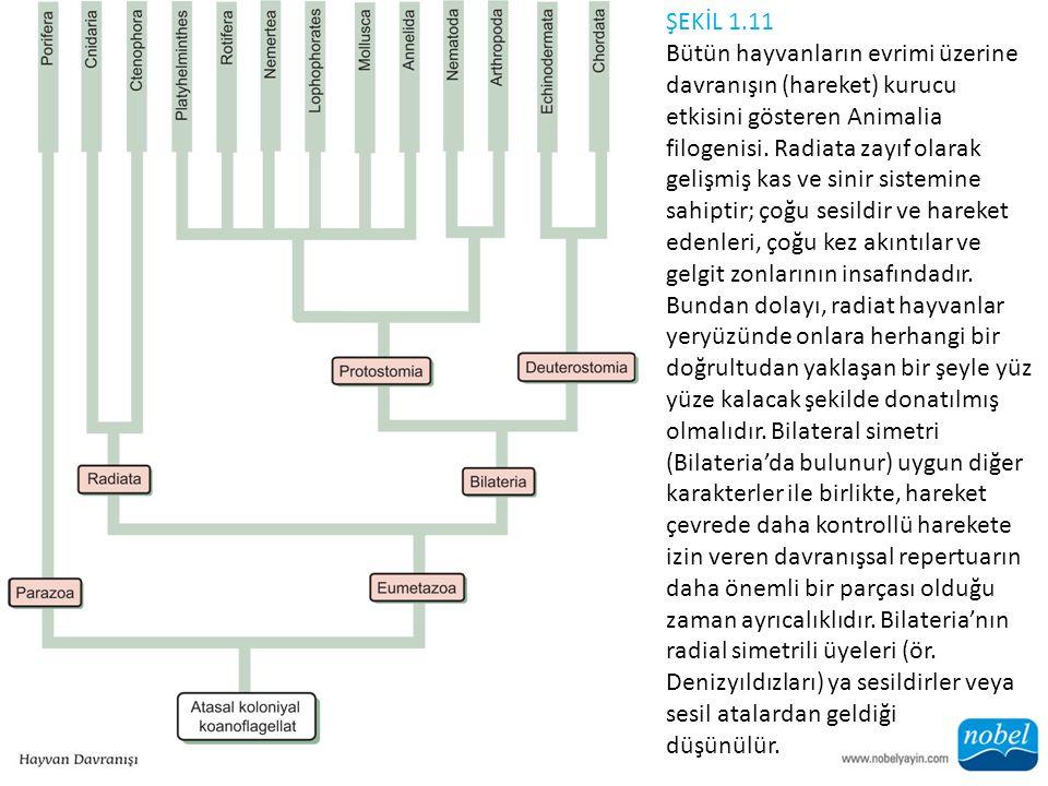ŞEKİL 1.11 Bütün hayvanların evrimi üzerine davranışın (hareket) kurucu etkisini gösteren Animalia filogenisi.