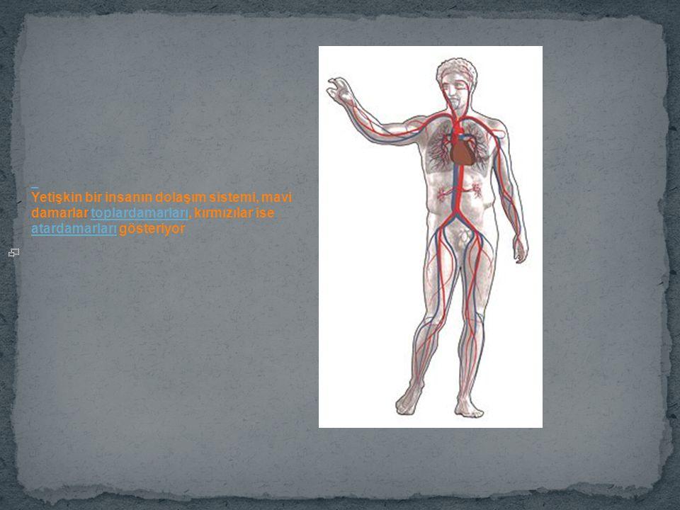 Yetişkin bir insanın dolaşım sistemi, mavi damarlar toplardamarları, kırmızılar ise atardamarları gösteriyortoplardamarları atardamarları