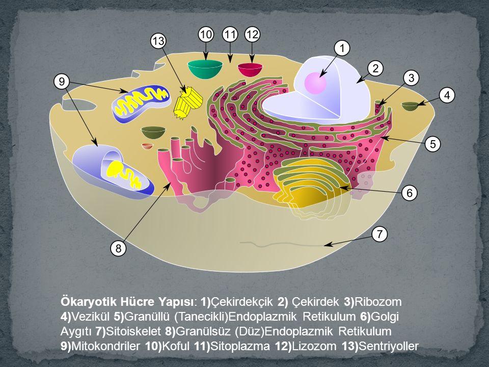 Ökaryotik Hücre Yapısı: 1)Çekirdekçik 2) Çekirdek 3)Ribozom 4)Vezikül 5)Granüllü (Tanecikli)Endoplazmik Retikulum 6)Golgi Aygıtı 7)Sitoiskelet 8)Granü