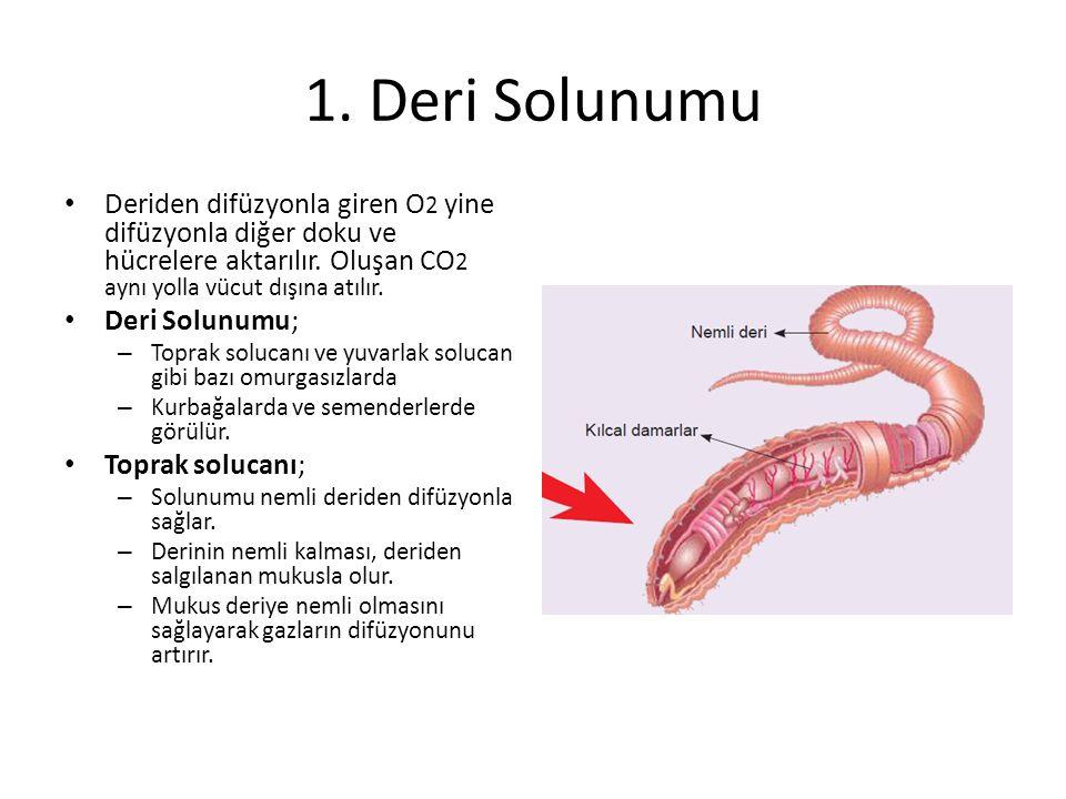 1. Deri Solunumu Deriden difüzyonla giren O 2 yine difüzyonla diğer doku ve hücrelere aktarılır. Oluşan CO 2 aynı yolla vücut dışına atılır. Deri Solu