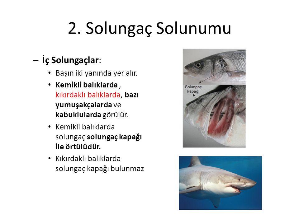 2. Solungaç Solunumu – İç Solungaçlar: Başın iki yanında yer alır. Kemikli balıklarda, kıkırdaklı balıklarda, bazı yumuşakçalarda ve kabuklularda görü